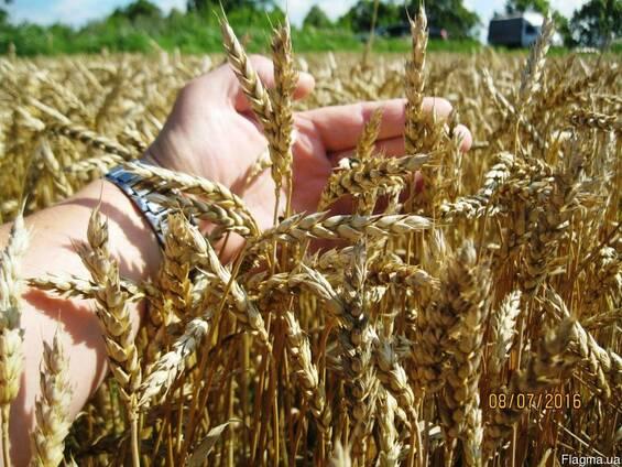 Пшениця-Дворучка Леннокс (Штрубе) - альтернативна пшениця