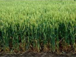 Пшениця дворучка WeW Маттус (Штрубе, Німеччина) 1р