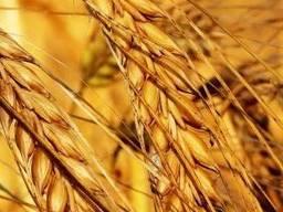Пшениця Нива одеська еліта