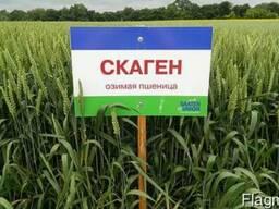 Пшениця озима Скаген, Кубус, Глаукус І репродукція
