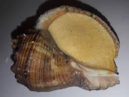 Рапан в ракушке под соусом Прованс, или Бургундский, Трюфель