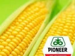 Распродажа гибрида кукурузы П9175 (P9175) AQUAmax Пионер