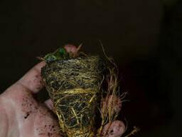 "Рассада фриго клубники ""Мармелада"", (касетная) tray plant. .."