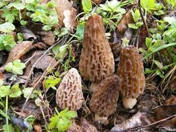 Рассада (мицелий грибов) Сморчок высокий для выращивания