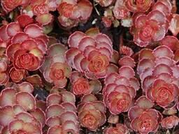 Разноцветный седум очиток 10 видов - фото 5