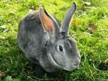 Рекси кролі - фото 3