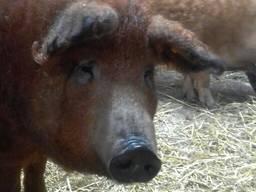 Ремонтные свинки покрытые 12-13 месяцев цена договорная