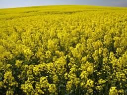 Ріпак озимий(насіння) Синтетік