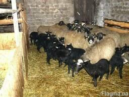 Романовских овец