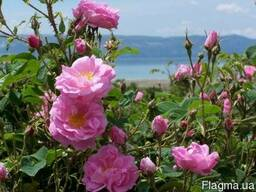 Роза чайная лепестки