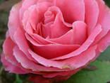 Роза чайно-гибридная Монтесума (Montezuma) - фото 1