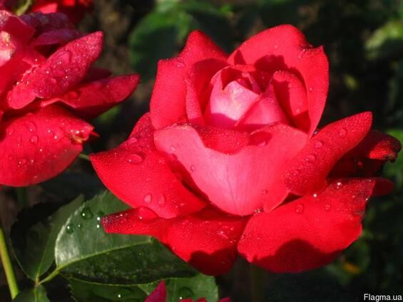 Роза Дам де Кер и саженцы других роз
