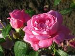 Роза Дам де Кер и саженцы других роз - фото 5