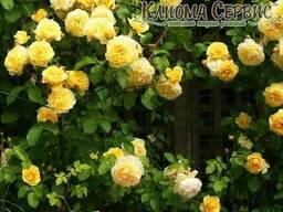 Роза плетистая сорт Казино (Casino)