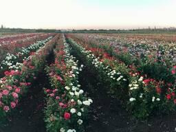 Роза. Саженцы роз