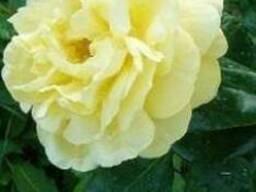 "Роза ""Старлайт"""