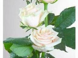 """Роза """"Талея"""""""