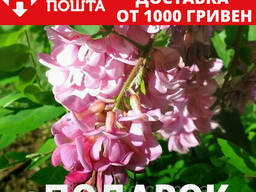 Розовая акация семена (10 шт) робиния щетинистоволосая. ..