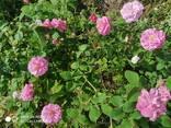 Розовая вода . Гидролат ( Эфиромасленичная Дамасская роза ) - фото 3