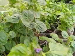 Розсада квітів, огірків, помідорів, капусти, перцю