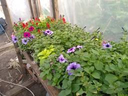 Розсада квітів, помідорів, капусти, перцю,
