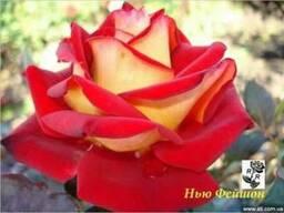 Розы, штамбовые, плетистые, бордюрные, плетистая, кустовые,