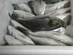 Рыба охлажденная сибас , дорадо ,кефаль.
