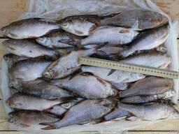 Продаём свежую и свежемороженую рыбу оптом
