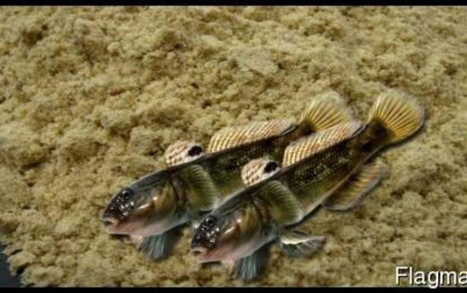 Рыбная мука из азовского бычка