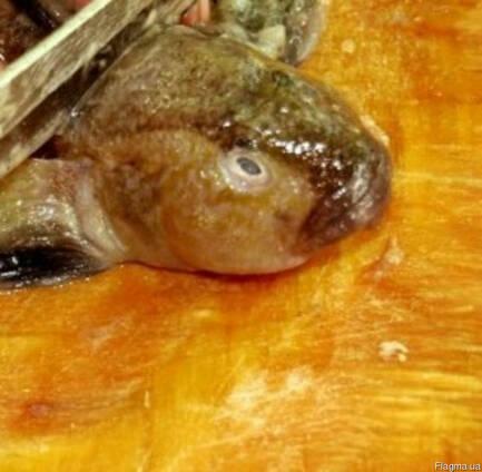 Рыбные отходы бычка (свежемороженные головы)
