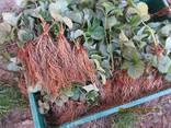 Саджанці полуниці - фото 1