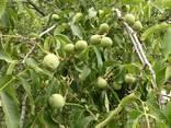 саженцы ореха сорта Кочерженко - фото 4