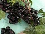 Саджанці і живці чорної смородини - фото 2
