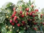 Саджанці малини і полуниці - фото 2