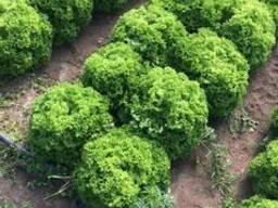 Салат кустовой