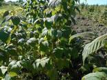 Сажанци малини Полана - фото 2