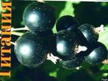 Саженци смородины. 7 сортов - фото 2