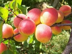 Саженцы абрикос