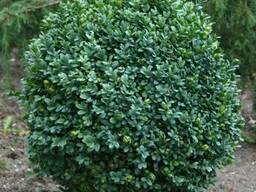 Саженцы: Буксус (самшит вечнозеленый)