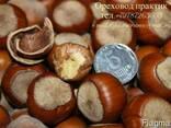 """Саженцы фундука """"Трапезунд"""" на сезон 2017-2020 - фото 4"""