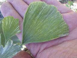 Саженцы: Гинкго Билоба «Варриегата» Gínkgo bilóba variegatа