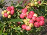 Саженцы голубики Розовый Лимонад (Pink Lemonade) 3. .. - фото 1