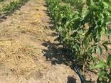 Саженцы грецкого ореха украинской и молдавской селекции