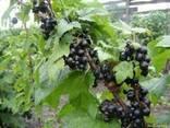 Саженцы и черенки черной смородины - фото 1