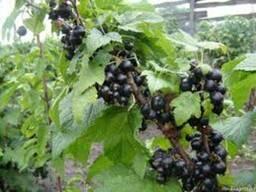 Саженцы и черенки черной смородины