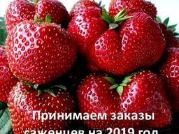 Саженцы клубники Чамора Туруси