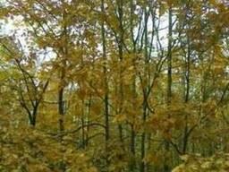 Саженцы красного дуба, дуба черешчатого, калины, рябины,