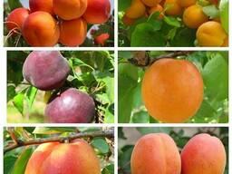 Саженцы крупноплодных сортов персика, нектарина, абрикоса.
