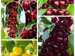 Саженцы крупноплодных сортов вишни и черешни большой выбор