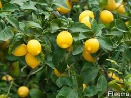 Саженцы лимона